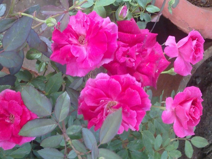 Pletistaya-roza-60.jpg