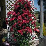 Pletistaya-roza-77-150x150.jpg