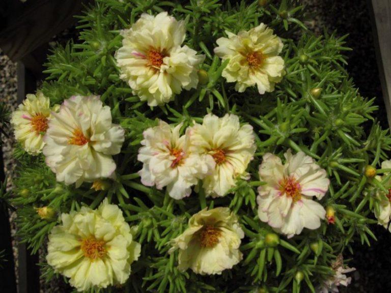 цвета бежевого полуденный жар цветы фото как торговый культурный