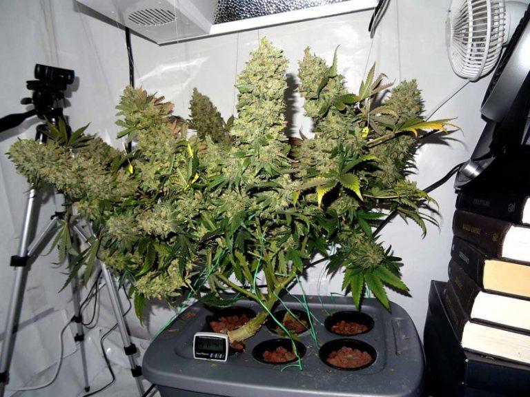 Гидропоника марихуана купить семена курить коноплю при диабете