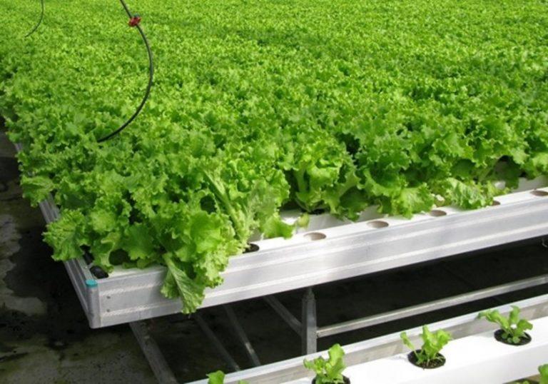 Выращивание салата на гидропонике из семян большая конопля в россии