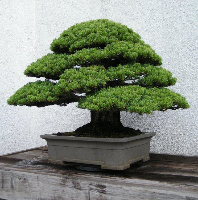магические растения для комнатного бонсая в картинках ней стоят