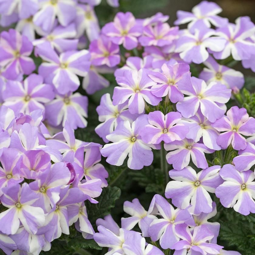 Вербена садовая 15 лучших сортов с описанием и характеристиками фото